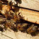 Pčele unose nektar u košnice kako bi stvorile med