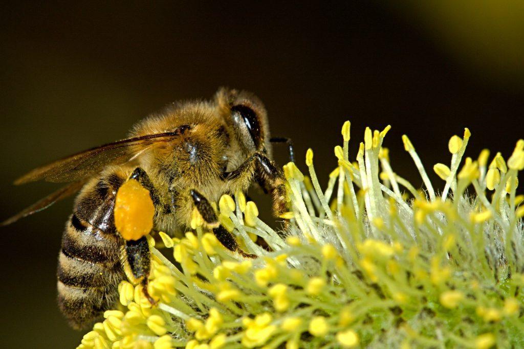 Pčele sakupljaju pelud iz različitih cvjetova.