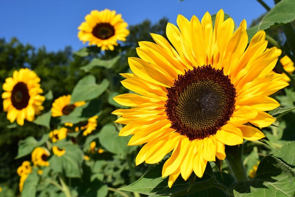 Suncokretov med pripada cjenjenijim vrstama meda